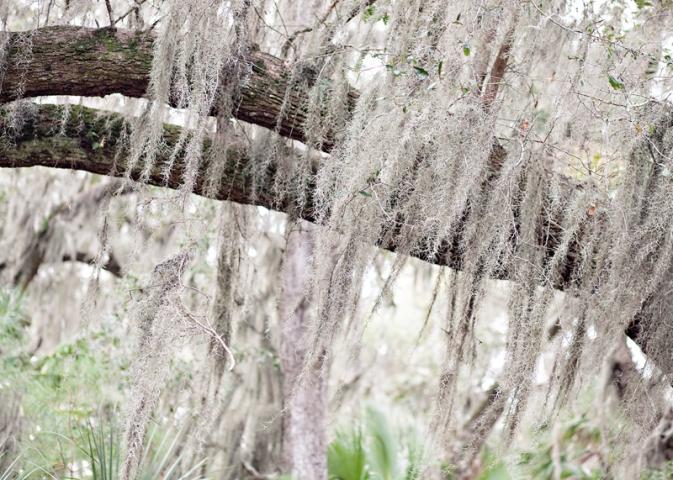 Spanish Moss at Skidaway Island State Park